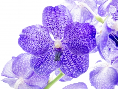 blue orchid - Master isolated images